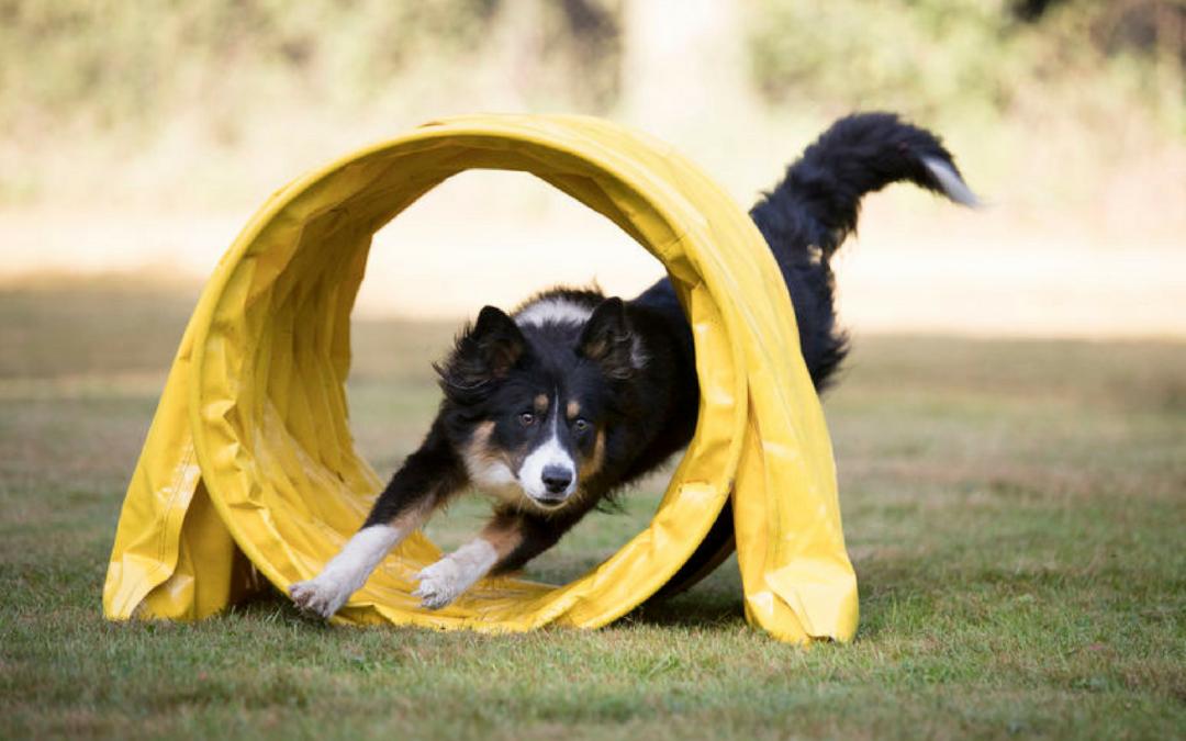 Fysträningskurs för Agilityhundar